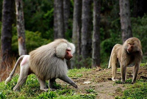 baboons-1803144__340