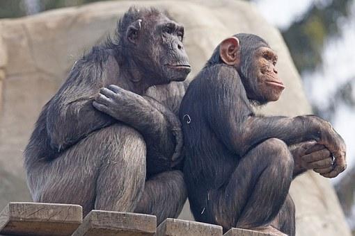 chimps-1273598__340