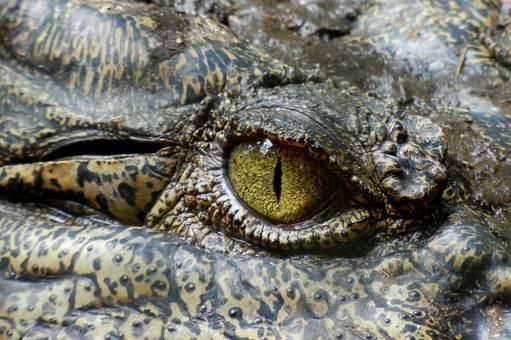 crocodile-630233__340