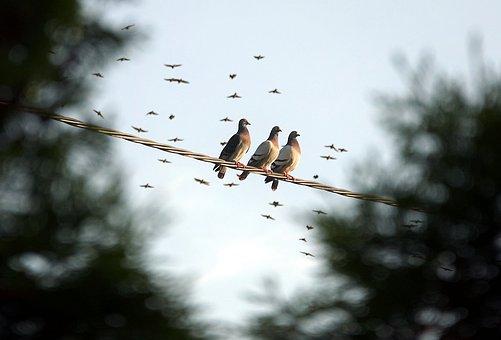 pigeons-2362768__340
