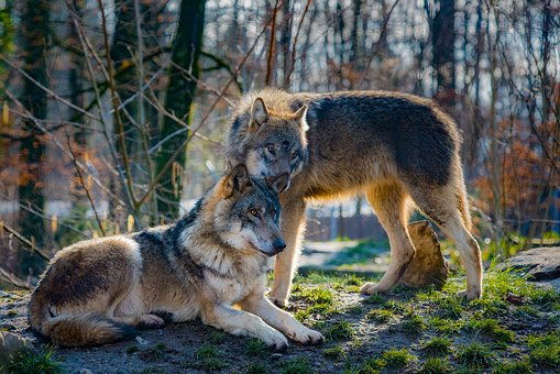 wolves-2178126__340