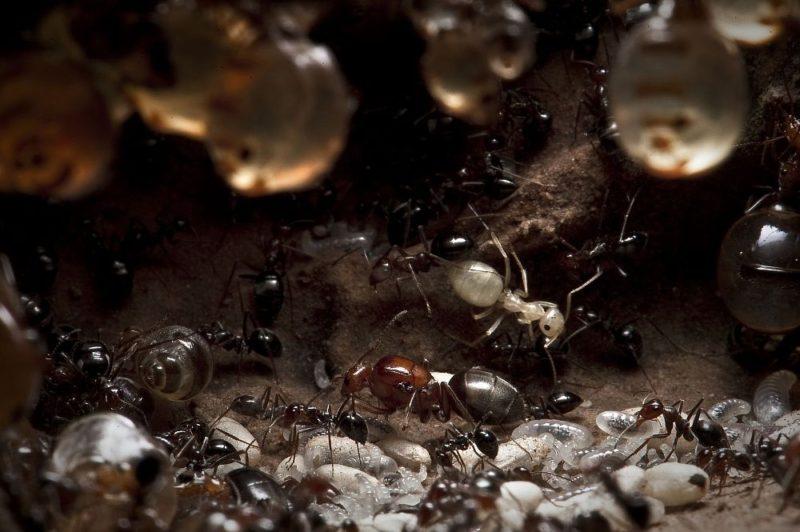 mrówki .1000