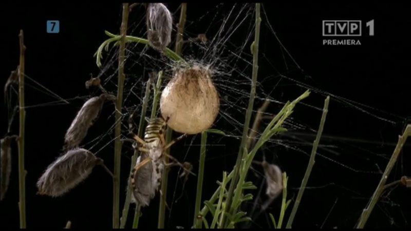 Niezwykłe pająki [HD]