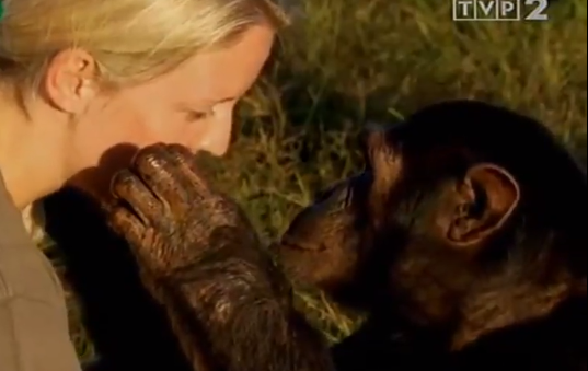 Małpy człekokształtne. Kto lepszy? Małpy, czy ludzie?