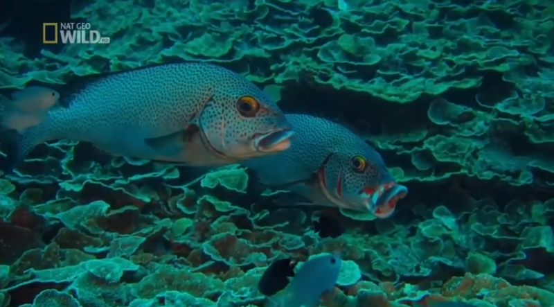 Życie Wielkiej Rafy Koralowej – cz. 2 [HD]